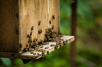 Bienenraub stellt eine ernste Gefahr für das Bienenvolk dar